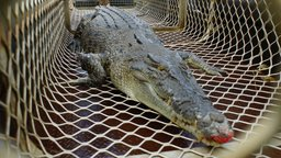 Saltwater Croc - Kakadu National Park, Northern Territory
